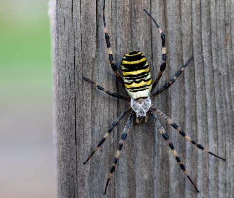 Was gruseliges – Die Wespenspinne