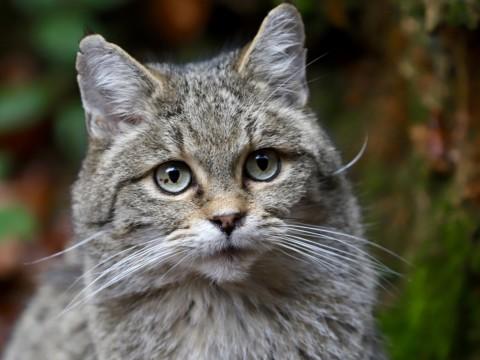 Die Wildkatze im Bayrischen Wald